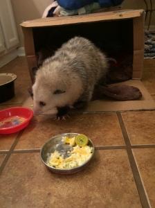 possum3